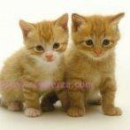 kittycat