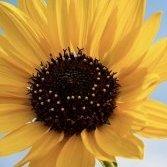 SunflowerSweet