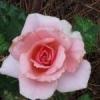 rose8888